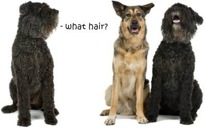 Large dogs no shedding